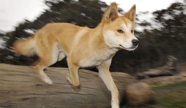Australia: Scenes never seen before reveal the secret life of a dingo