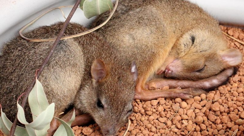 BrushTail Pettong reintroduced in South Australia