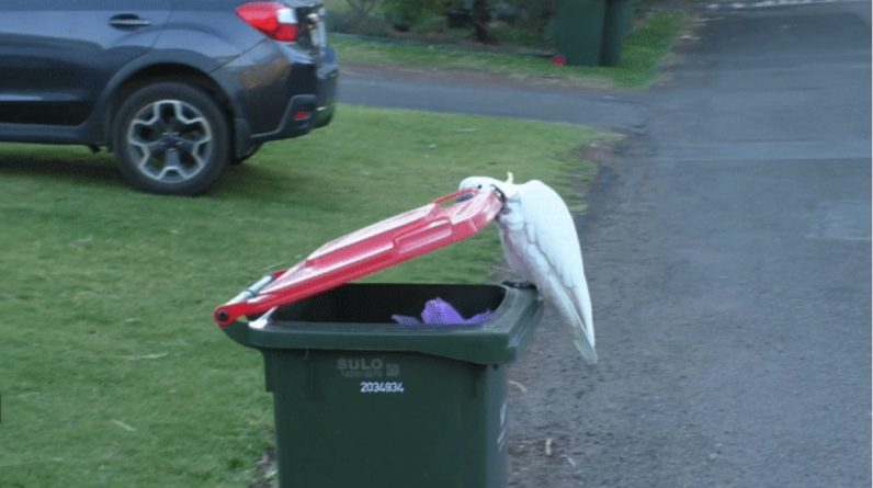 In Australia, the Caucasus learned to open trash cans