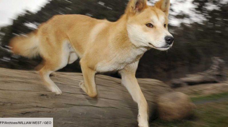 New scenes reveal the secret life of a dingo in Australia