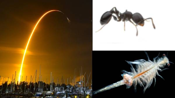 Ants in space with SpaceX .. Why were the ants sent into space with shrimp?