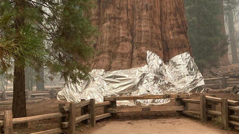 La base des troncs a été recouverte de feuilles d'aluminium.