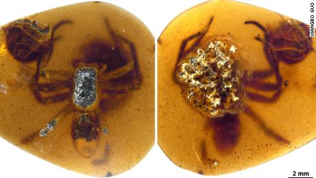 A female spider and her egg bag were caught in Burmese amber.