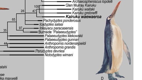 A 10-year-old boy has discovered the fossil of a giant penguin