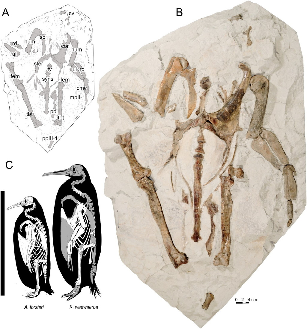 Discovered fossils and description of the giant penguin