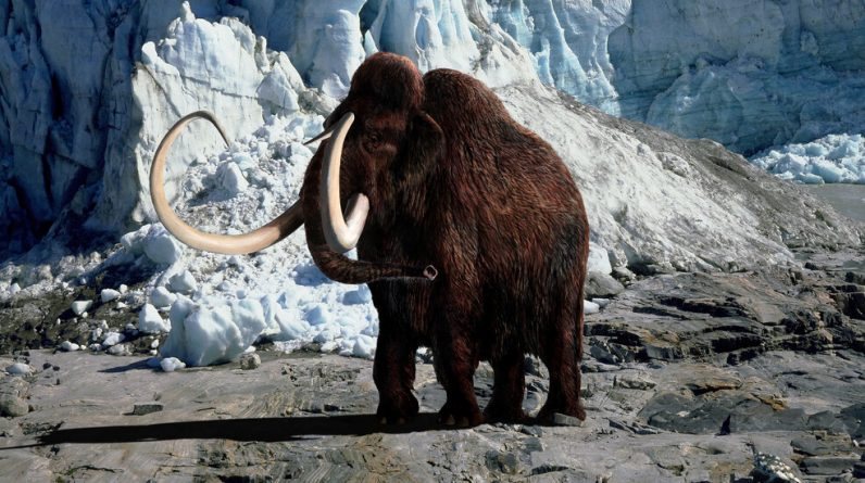 A new company with wild work: to return mammoth wool