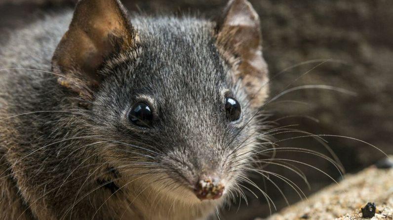 In Australia, the suicidal marsupial race escaped the catastrophic fire