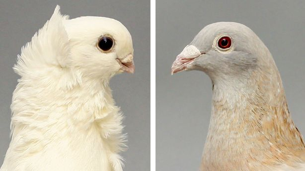 Researchers in the United States say they have solved the mystery of Darwin's pigeon