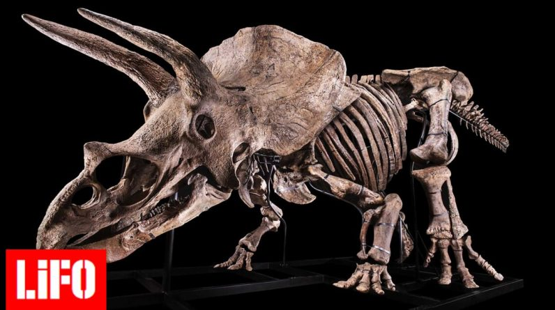 """The largest trikeratoba skeleton in the auction - who is the famous """"Big John"""""""