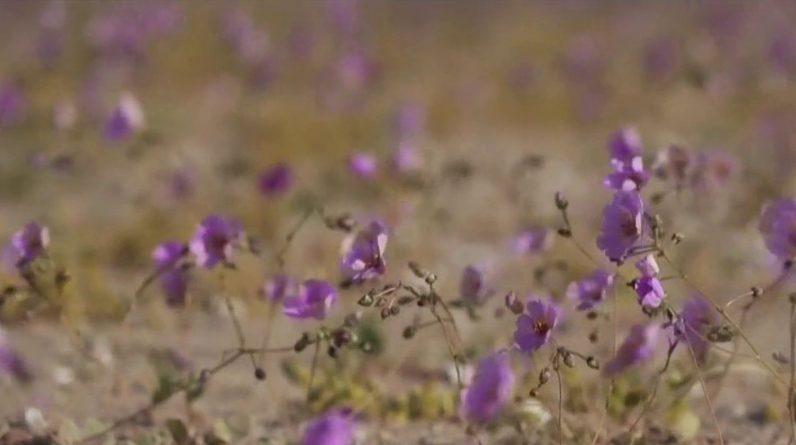 Atacama Desert, a collection of rare flowers